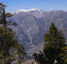 Mt. Baldy PInes Wikimedia.org images