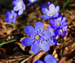 hepatica free wikimedia.commonsimages
