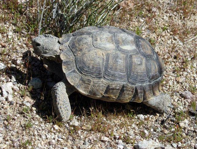 wikimedia.org Wilson44691 DesertTortoise.JPG