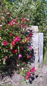 Scotland flower 234962871_10212070526023305_3267980022127788032_n