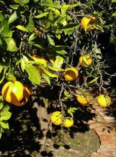 orange tree16142454_10208240366751717_4284977956070090556_n