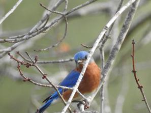 RB blue bird 30713408_10213452036388460_184333558188343296_n