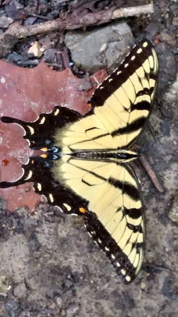 RB butterfly 39628767_10214359028462695_6347497252969250816_n