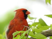 RB cardinal 32418014_10213659493934769_6360466014093705216_n