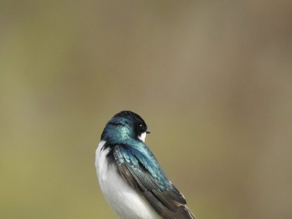 RB tree swallow 30707465_10213452036628466_7919281878295642112_n