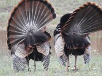 RB two turkeys 30629189_10213430235043440_5806501016291508224_n